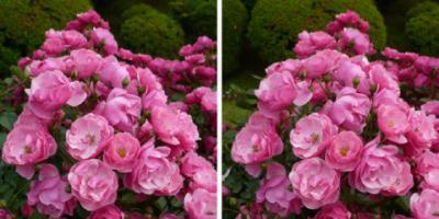 アンジェラ薔薇平行法ステレオ写真