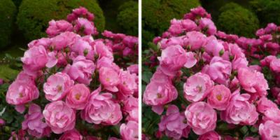 アンジェラ薔薇交差法3D写真