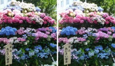 白山神社 白山あじさい富士平行法立体写真